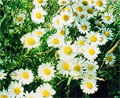 whiteflowers2